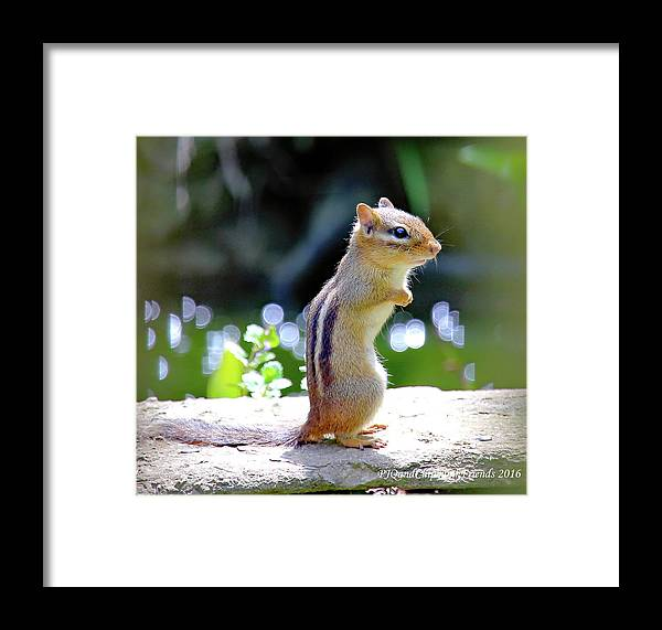 Chipmunk Framed Print featuring the photograph Chipmunk by PJQandFriends Photography