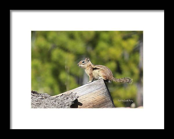 Chipmunk Framed Print featuring the photograph Chipmunk sunning by Pat McGrath Avery
