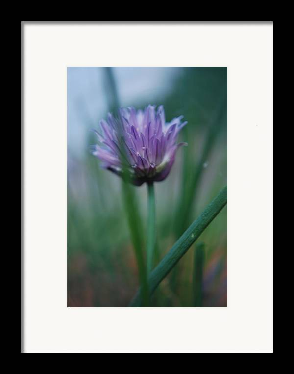 Nature Framed Print featuring the photograph Chive Flower 2 by Lisa Gabrius