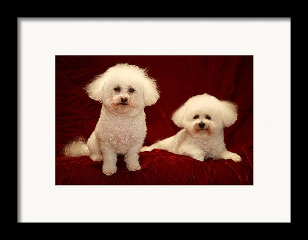 Animal Framed Print featuring the photograph Chloe And Jolie The Bichon Frises by Michael Ledray
