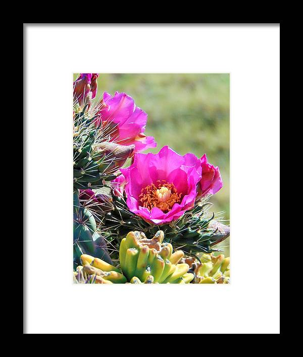 Cactus Flower Framed Print featuring the photograph Cholla In Bloom by Carl Miller