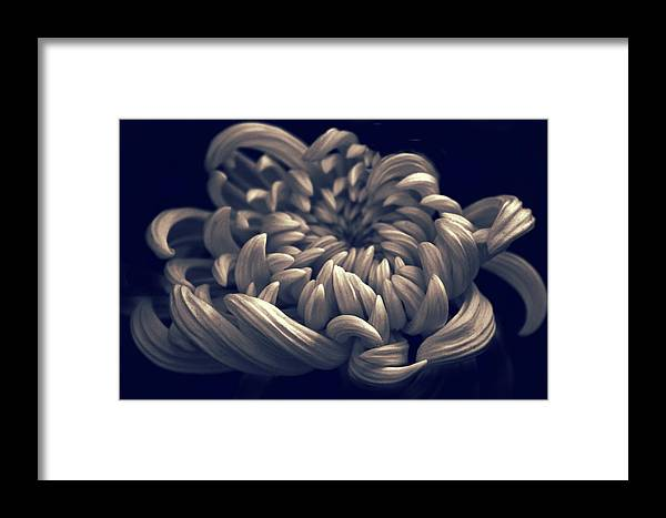 Chrysanthemum Framed Print featuring the photograph Chrysanthemum Curves by Jessica Jenney