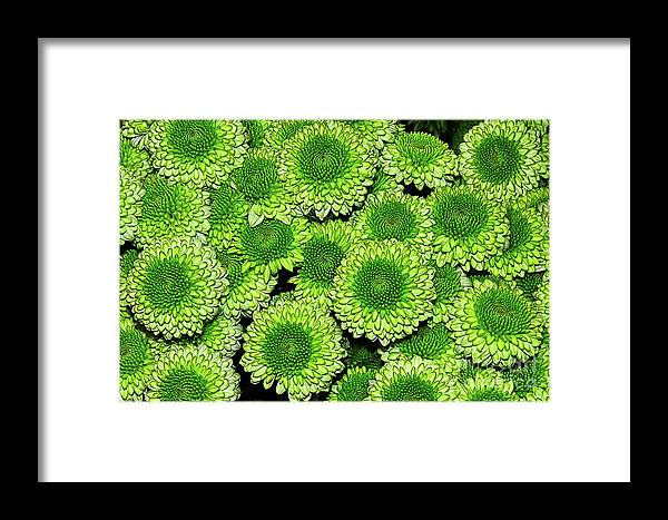 Photography Framed Print featuring the photograph Chrysanthemum Green Button Pompon Kermit by Kaye Menner