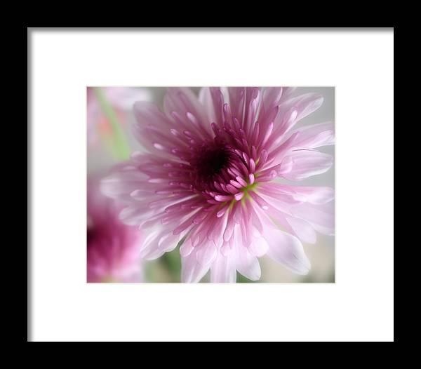 Chrysanthemum Framed Print featuring the photograph Chrysanthemum #001 by Ninie AG