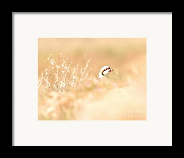 Chukar Framed Print featuring the photograph Chukar Partridge by Dennis Hammer