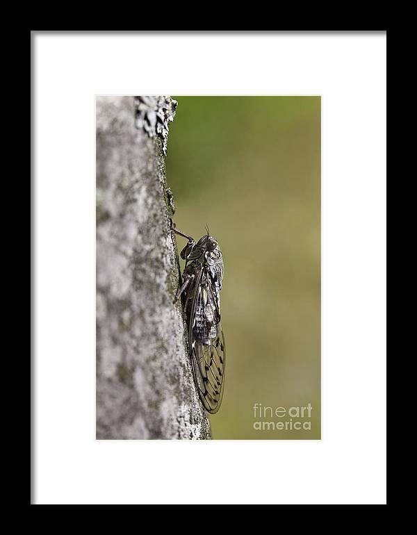 Cicada Framed Print featuring the photograph Cicada by Gabriela Insuratelu