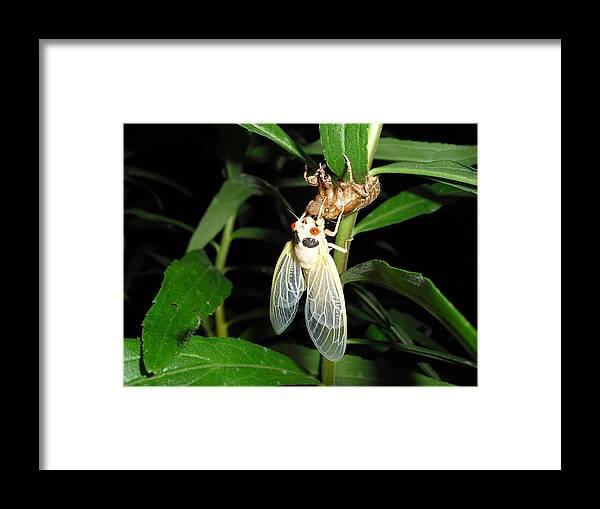 Cicada Framed Print featuring the photograph Cicada by Matthew Christiansen