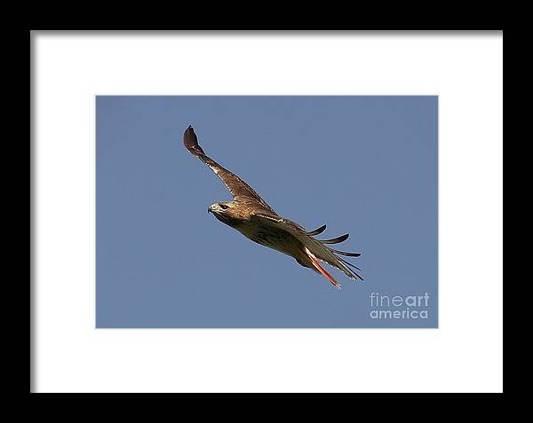 Hawk Framed Print featuring the photograph Circling Red Tailed Hawk by Daniel Earnhardt