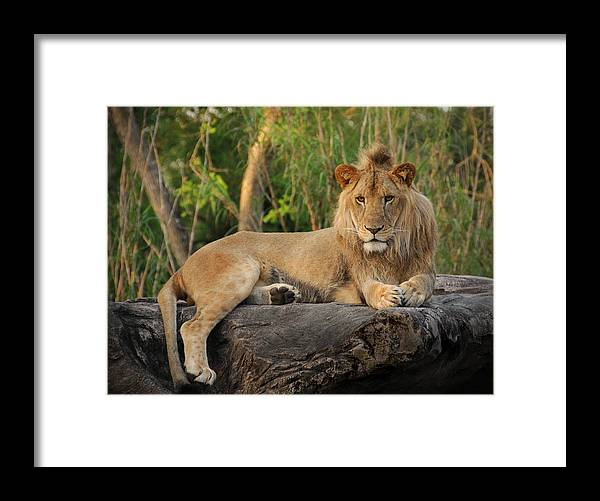 Lion Framed Print featuring the photograph Classic Young Male by Steven Sparks