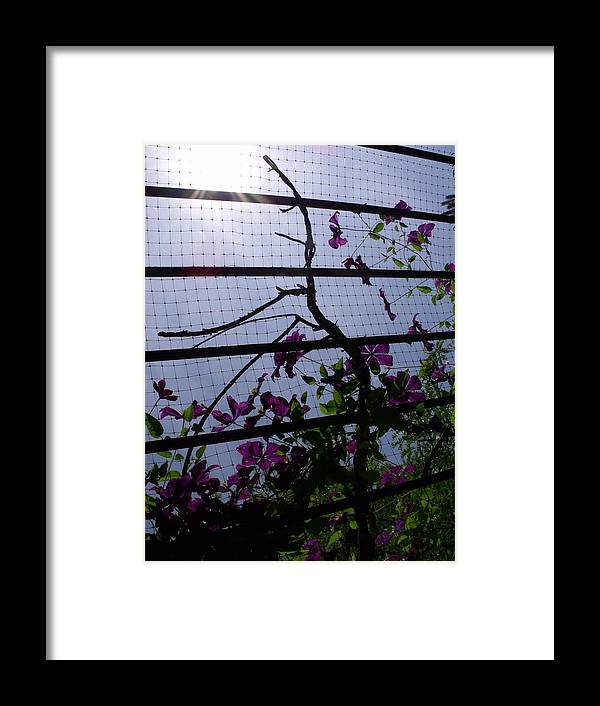 Purple Framed Print featuring the photograph Clematis II by Anna Villarreal Garbis