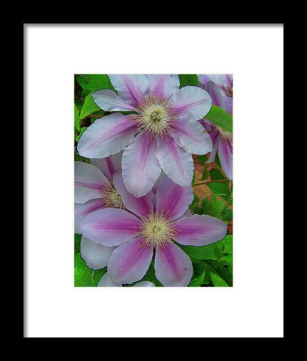 Clematis Framed Print featuring the photograph Clematis by Vijay Sharon Govender