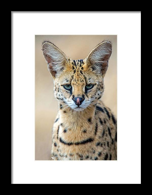 Photography Framed Print featuring the photograph Close-up Of Serval Leptailurus Serval by Panoramic Images