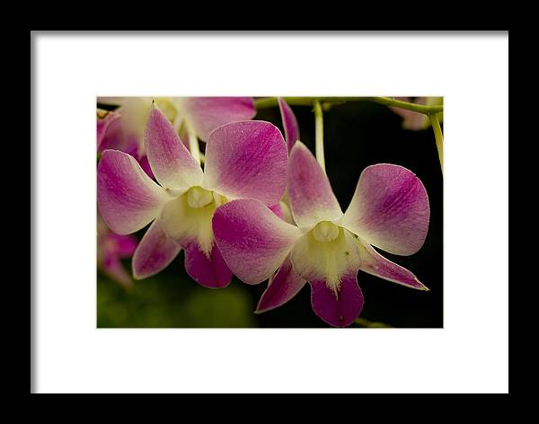 Orchids Framed Print featuring the photograph Close View Of A Pink Orchid Flowers by Todd Gipstein