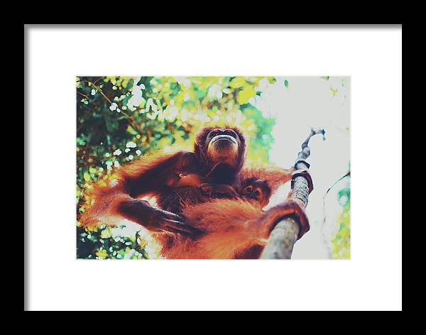 Adult Framed Print featuring the photograph Closeup Portrait Of A Wild Sumatran Adult Female Orangutan Climbing Up The Tree And Holding A Baby by Srdjan Kirtic