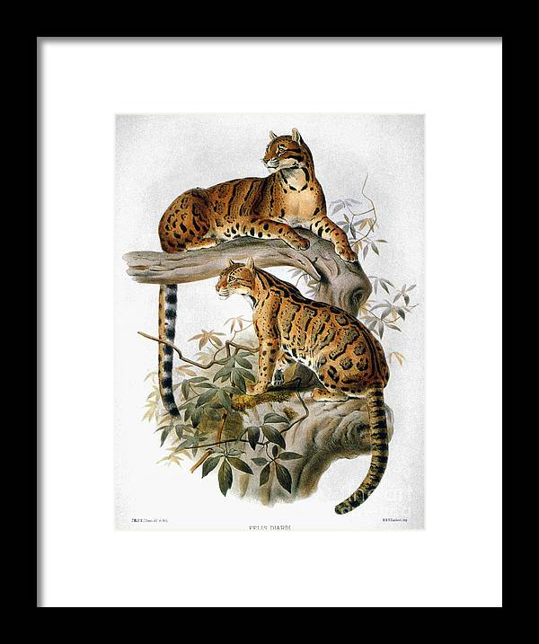 1883 Framed Print featuring the photograph Clouded Leopard, 1883 by Granger