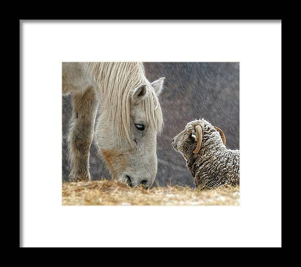 Horse Framed Print featuring the photograph Clouseau and Friend by Don Schroder