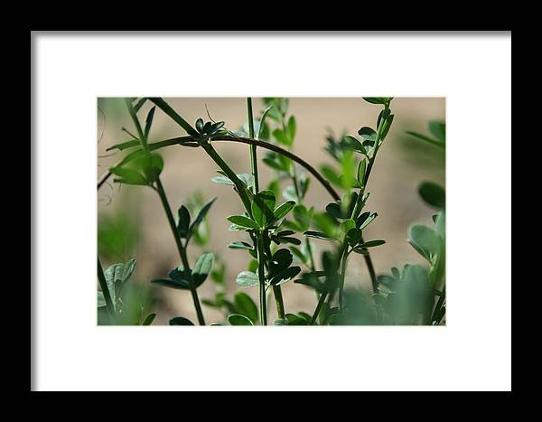 Clover Framed Print featuring the photograph Clovers by Joshua Sunday