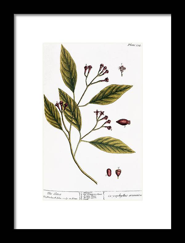 1730s Framed Print featuring the photograph Cloves, 1735 by Granger