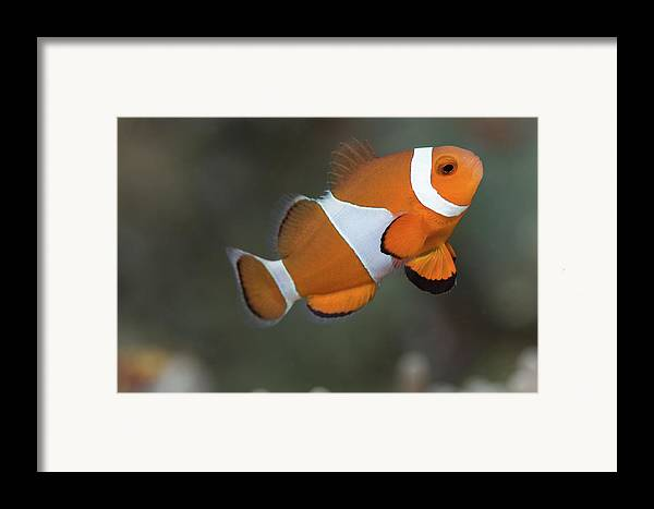 Horizontal Framed Print featuring the photograph Clown Anemonefish (amphiprion Ocellaris) by Steven Trainoff Ph.D.