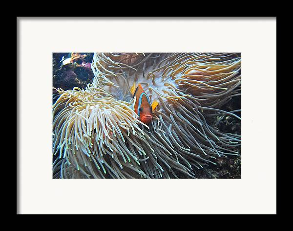 Fish Framed Print featuring the photograph Clown Fish by Michael Peychich