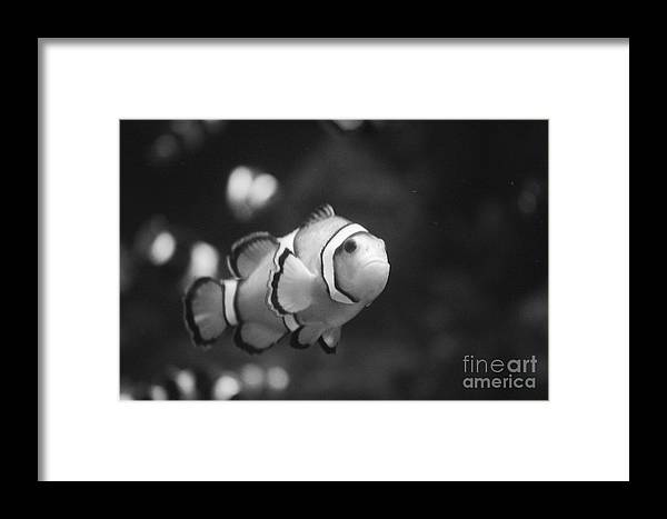 Clownfish Framed Print featuring the photograph Clownfish by Brenton Woodruff