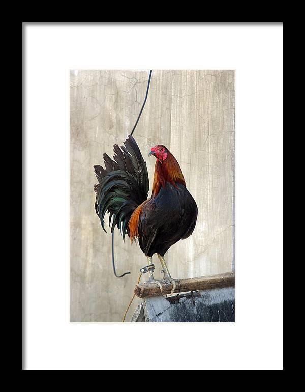 Photographer Framed Print featuring the photograph Cluck 3 by Jez C Self