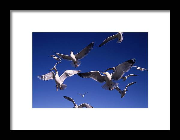 Seagull Birds Flight Framed Print featuring the photograph Cnrg0302 by Henry Butz