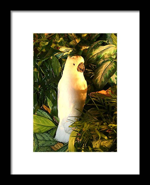 Cockatoo Framed Print featuring the photograph Cockatoo In Sunlight by Diane Merkle