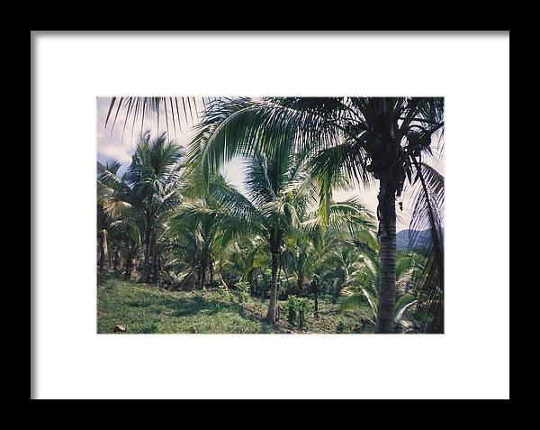 Jamaica Framed Print featuring the photograph Coconut Farm by Debbie Levene