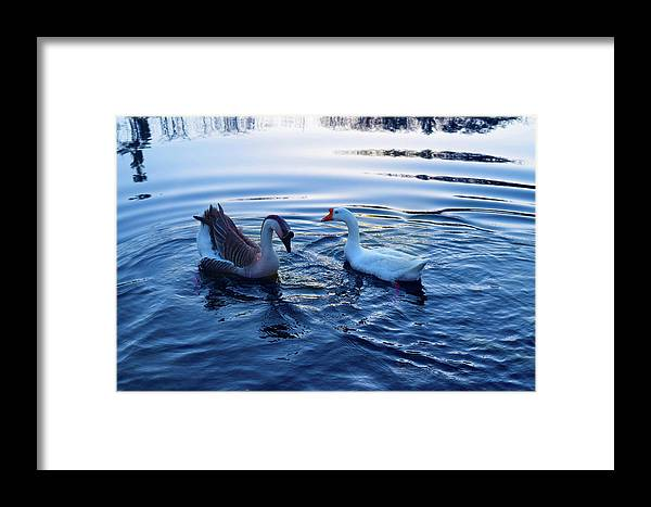 Geese Framed Print featuring the photograph Cold Morning Swim 2 by Niioko Landers