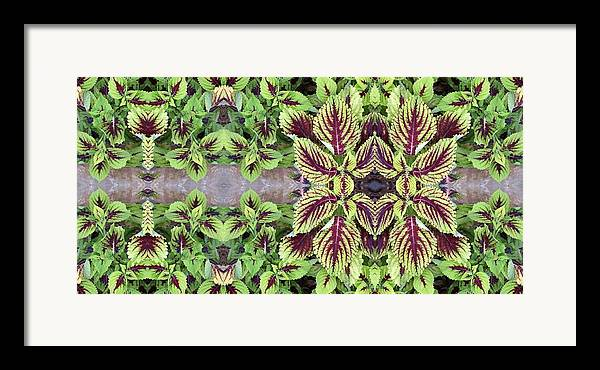 Green Framed Print featuring the photograph Coleus by Keri Renee