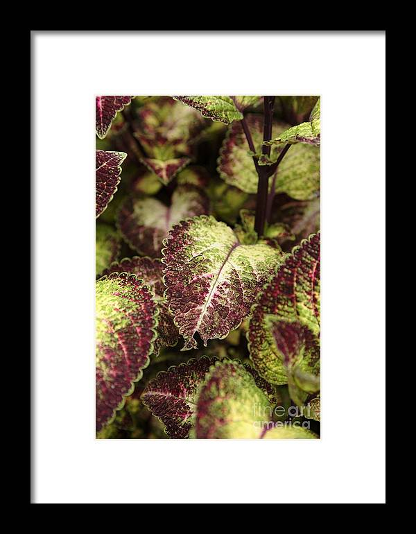 New England Framed Print featuring the photograph Coleus Plant by Erin Paul Donovan