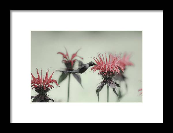 Hummingbird Framed Print featuring the photograph Colibri by Julien Boutin