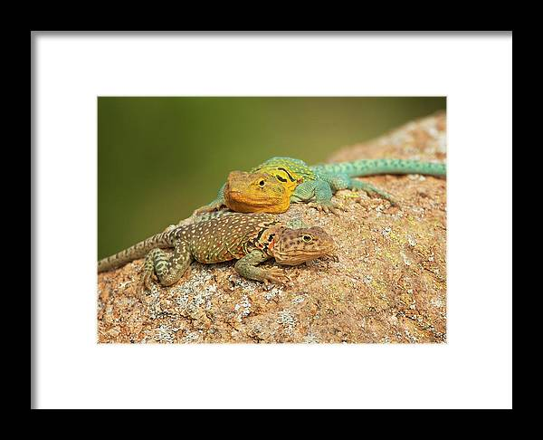 Collared Lizards Framed Print featuring the photograph Collared Lizards by Sherry Adkins