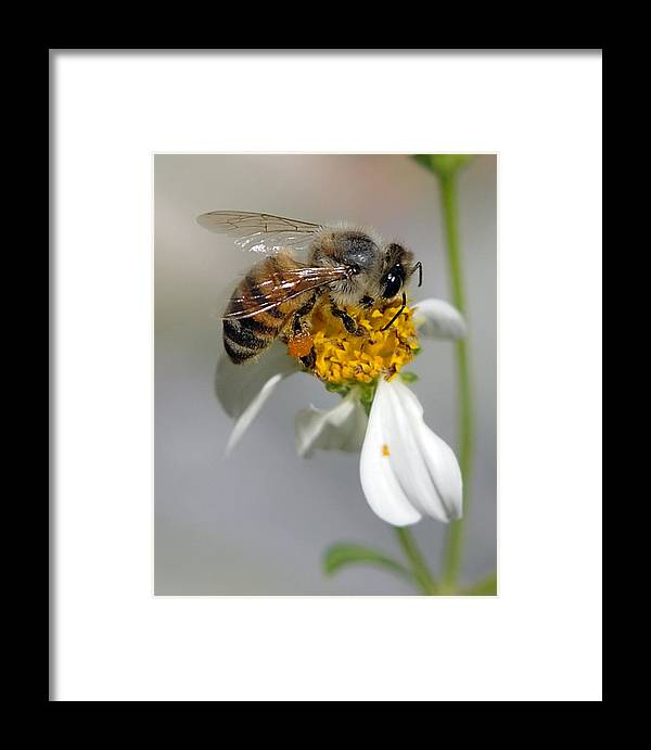 Bee Framed Print featuring the photograph Collections by Keith Lovejoy
