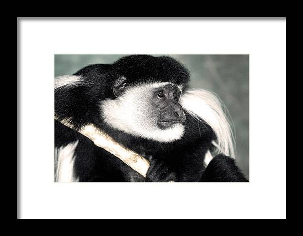 Colobus Framed Print featuring the photograph Colobus Richii by BuffaloWorks Photography