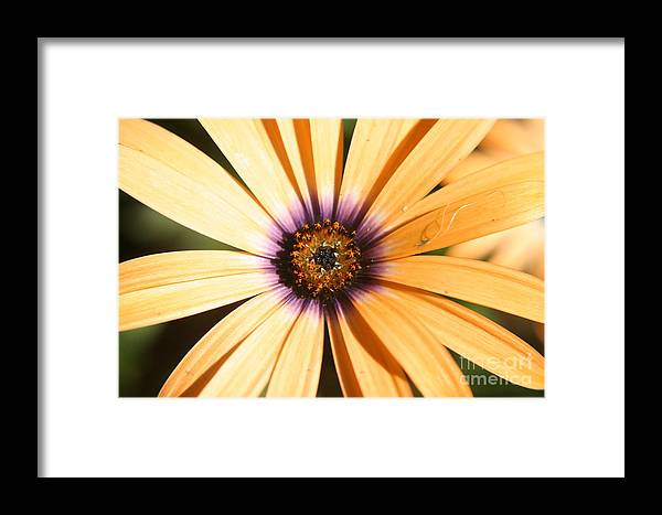 Flower Framed Print featuring the photograph Color Burst by Amy Holmes