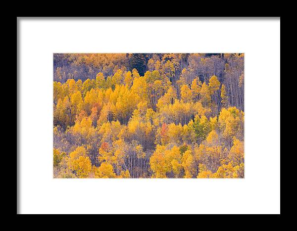 Trees Framed Print featuring the photograph Colorado Autumn Trees by James BO Insogna