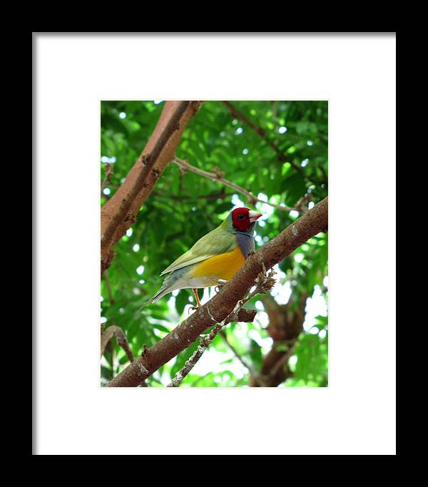 Finch Framed Print featuring the photograph Colorful Finch by George Jones