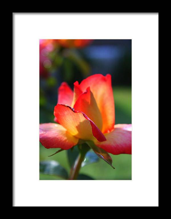 Rose Framed Print featuring the photograph Colorful Rose by Donald Tusa