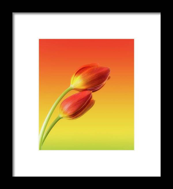 Tulips Framed Print featuring the photograph Colorful Tulips by Wim Lanclus