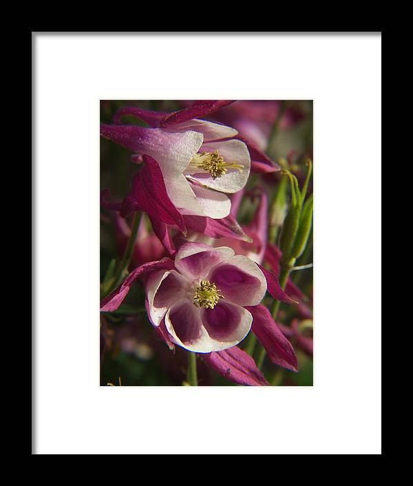 Flower Framed Print featuring the photograph Columbine 2 by Dave Chafin