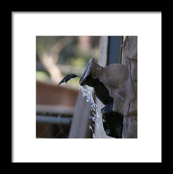 Hummingbird Framed Print featuring the photograph Coming In For Water by Liz Vernand