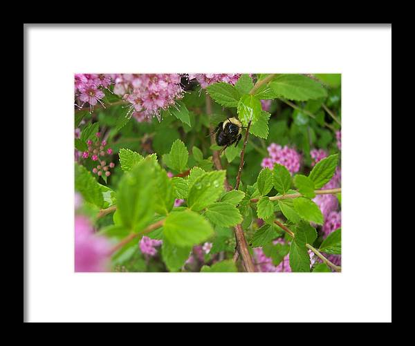 Bumble Bee In Flight Nature Dew Garden Flowers Framed Print featuring the photograph Coming To Get Me by Anna Villarreal Garbis