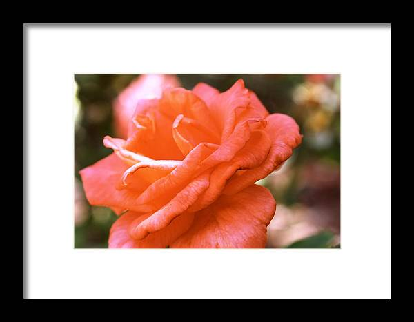 Rose Framed Print featuring the photograph Coming Up Roses by Melissa Millsap-Young