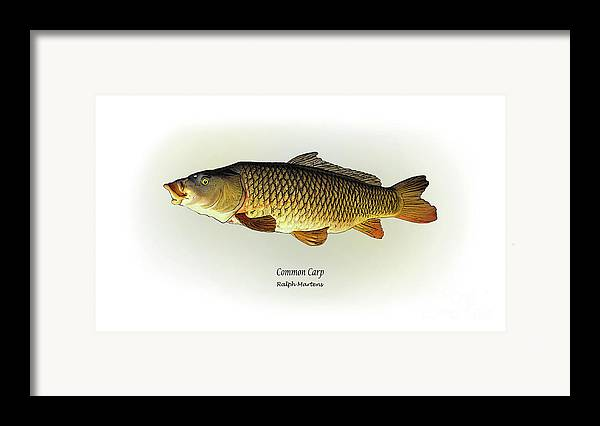 Carp Framed Print featuring the painting Common Carp by Ralph Martens