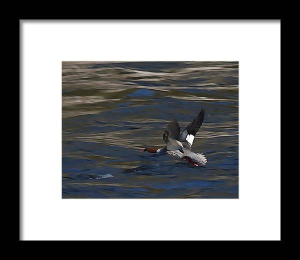 Ducks Framed Print featuring the photograph Common Merganser Duck by Peter Gray