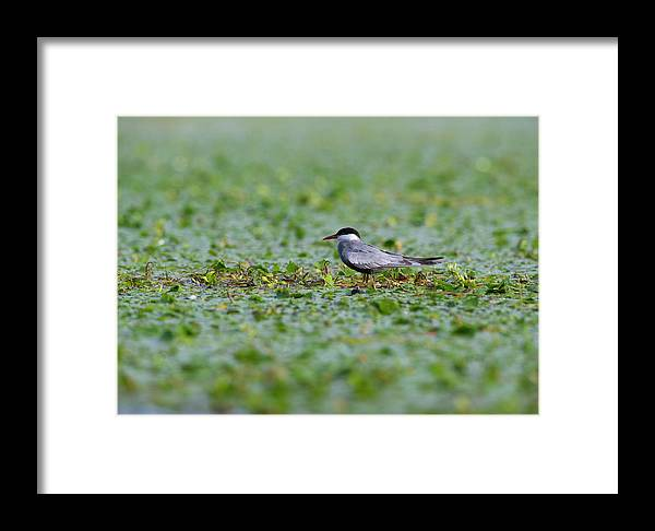 Danube Delta Framed Print featuring the photograph Common Tern by Alan Grant