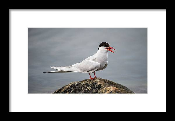 Common Tern Framed Print featuring the photograph Common Tern by Torbjorn Swenelius