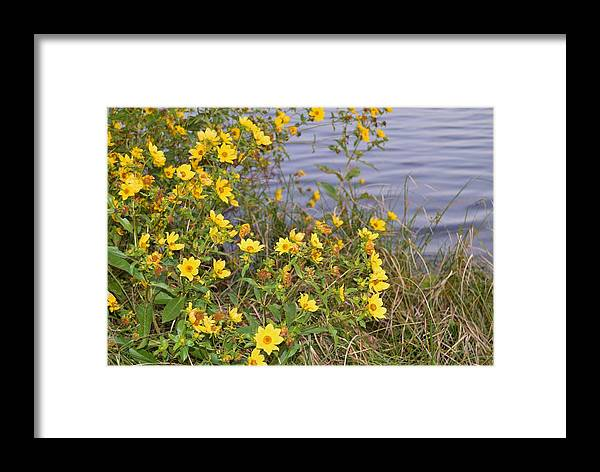 Common Tickseed Framed Print featuring the photograph Common Tickseed by Warren Thompson
